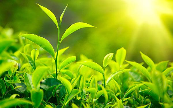 Nguồn gốc lịch sử của lá trà xanh
