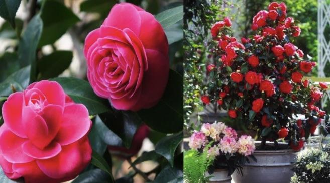 Cách chăm sóc hoa trà - trồng hoa trà