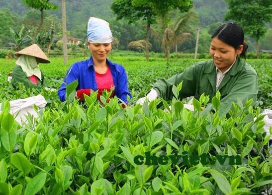 Quá trình hái trà