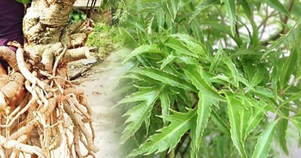 cây dược liệu Đinh Lăng