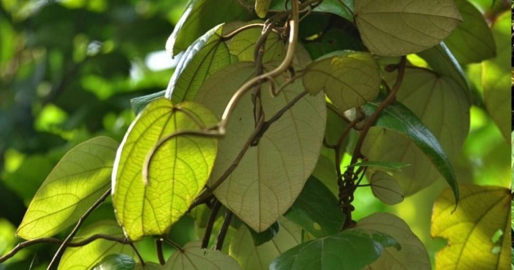 cây dược liệu Vàng Đắng